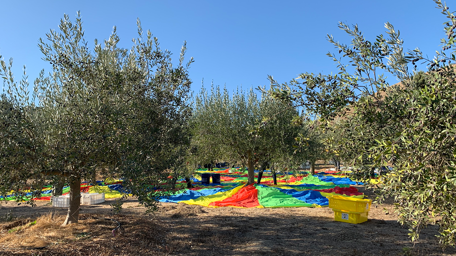 Rainbow parachutes laid down around the bases of several olive trees.